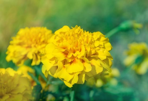 Tipo de anêmona de calêndula amarelo francês