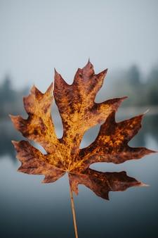 Tiro bonito do close up de uma folha dourada grande do outono com um fundo natural borrado
