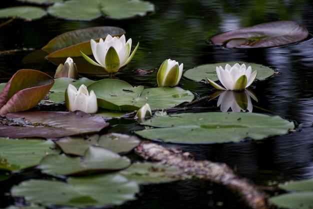 Tiro bonito foco seletivo de lótus brancos sagrados crescendo em grandes folhas verdes em um pântano