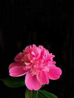 Tiro-chave baixo de uma flor de peônia rosa em fundo preto. modelo perfeito para seus projetos brilhantes.