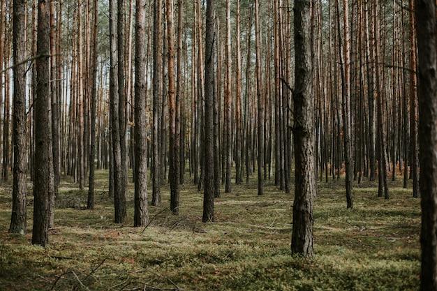 Tiro de ângulo baixo bonito de uma floresta com altas árvores secas, crescendo no chão com grama fresca