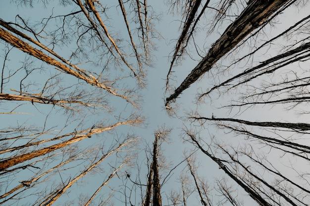Tiro de ângulo baixo de árvores altas e secas e nuas com o céu cinza no