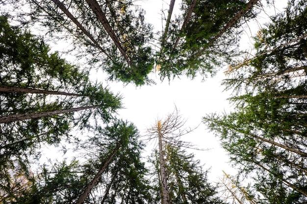 Tiro de ângulo baixo de árvores altas em uma floresta com um céu branco brilhante