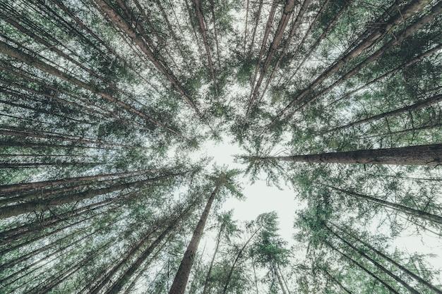 Tiro de ângulo baixo de árvores finas em uma floresta