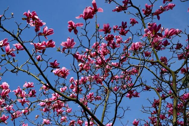 Tiro de ângulo baixo de lindas flores de pétalas cor de rosa em uma árvore sob o lindo céu azul