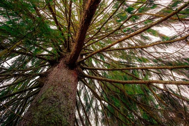 Tiro de ângulo baixo de um velho pinheiro marrom com agulhas verdes