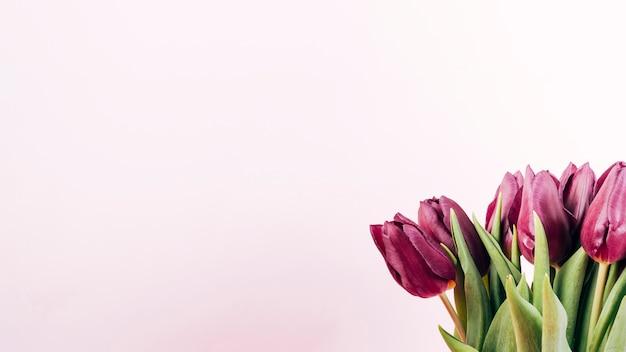 Tiro de detalhe de tulipas frescas em fundo colorido