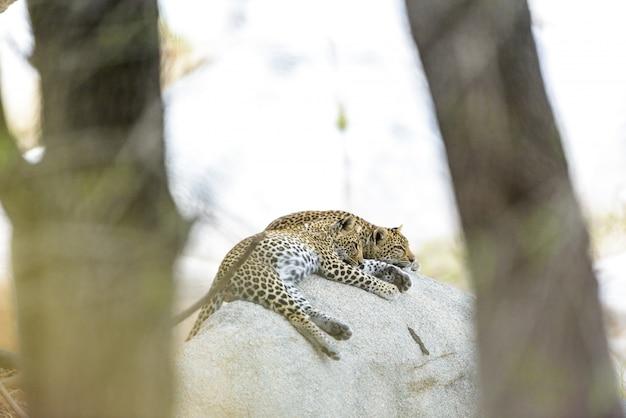 Tiro de foco seletivo de leopardos deitado na rocha dormindo