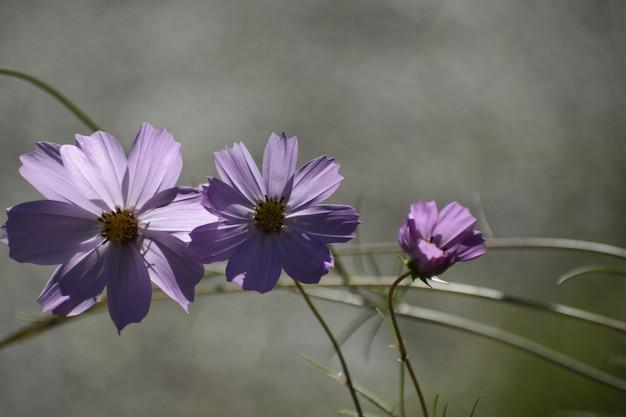 Tiro de foco seletivo de plantas roxas do cosmos bipinnatus que crescem no meio de uma floresta