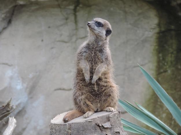 Tiro de foco seletivo de um bonito suricata em pé em uma pedra no meio de uma floresta