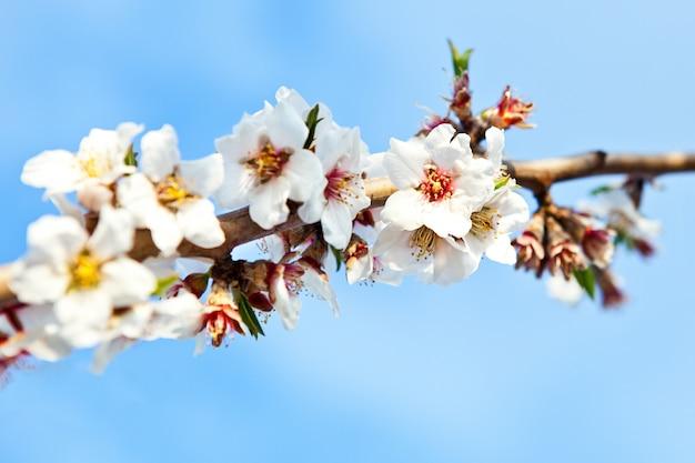 Tiro de foco seletivo de um galho de uma árvore de cereja com lindas flores brancas desabrochadas