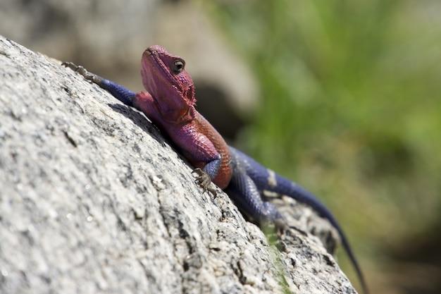 Tiro de foco seletivo de um lagarto agama vermelho e azul subindo uma rocha