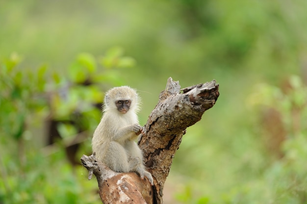 Tiro de foco seletivo de um macaco bebê fofo em um tronco de madeira com uma parede borrada