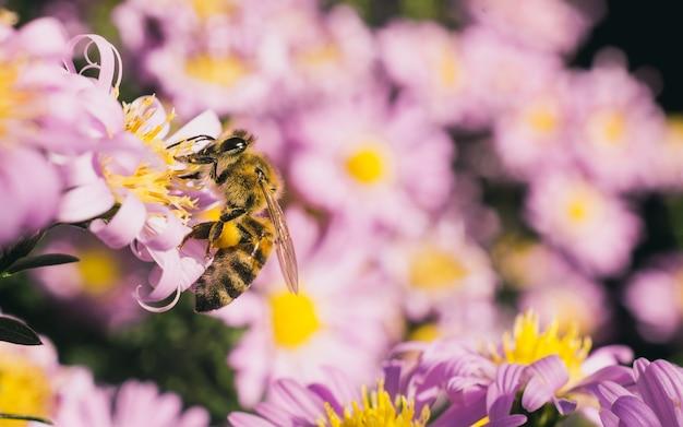 Tiro de foco seletivo de uma abelha comendo o néctar das pequenas flores de áster rosa