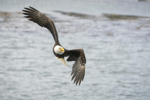 Tiro de foco seletivo de uma águia voando livremente sobre o oceano à procura de uma presa