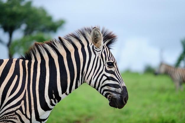 Tiro de foco seletivo de uma bela zebra em um campo coberto de grama verde