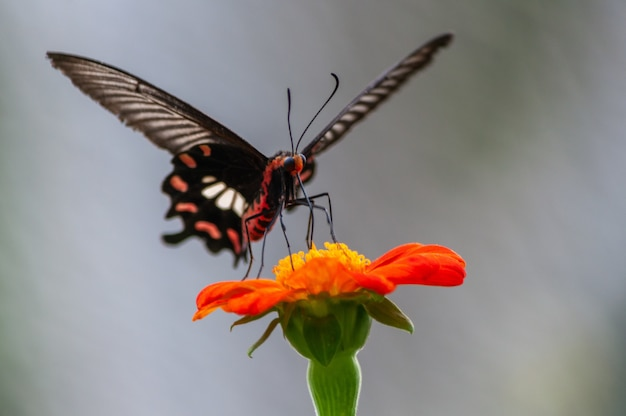 Tiro de foco seletivo de uma borboleta rabo de andorinha na flor de pétalas de laranja