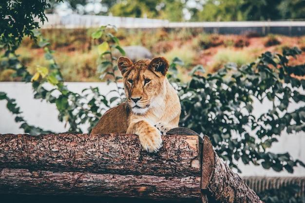 Tiro de foco seletivo de uma leoa, apoiando-se em um tronco de árvore no embaçado