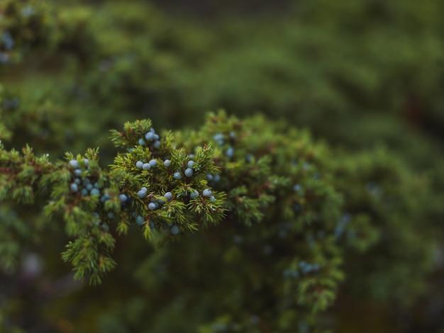 Tiro de foco seletivo dos pequenos frutos azuis da árvore spruce