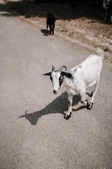 Tiro de foco seletivo vertical de uma cabra branca na estrada na zona rural