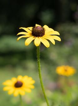 Tiro de foco seletivo vertical de uma susan de olhos pretos no meio de um campo de flores