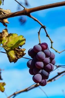 Tiro de foco seletivo vertical de uma trituração de uva roxa crescendo na árvore