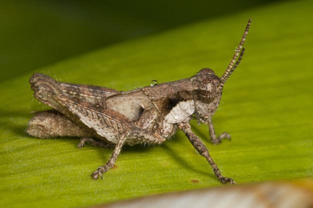 Tiro de fotografia macro de um gafanhoto com asas, sentado em uma folha verde fresca