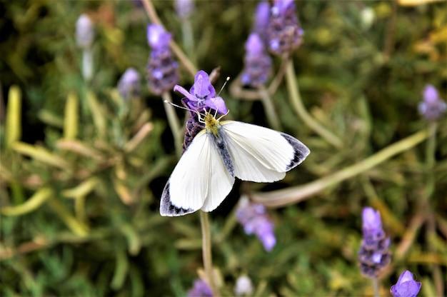 Tiro de fotografia macro de uma borboleta branca em flores de lavanda inglês