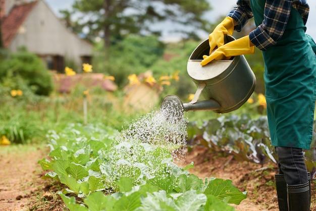 Tiro de jardineiro irreconhecível regar a colheita de repolho da lata de spray