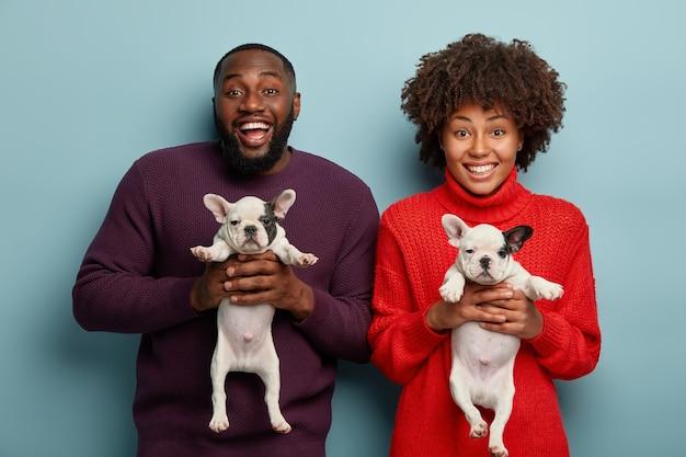 Tiro de metade do comprimento de um casal afro alegre como animais, segure dois filhotes de buldogue francês recém-nascidos, encontre um hospedeiro para animais de estimação, sorria amplamente, fique um ao lado do outro sobre a parede azul. cachorrinhos com pedigree