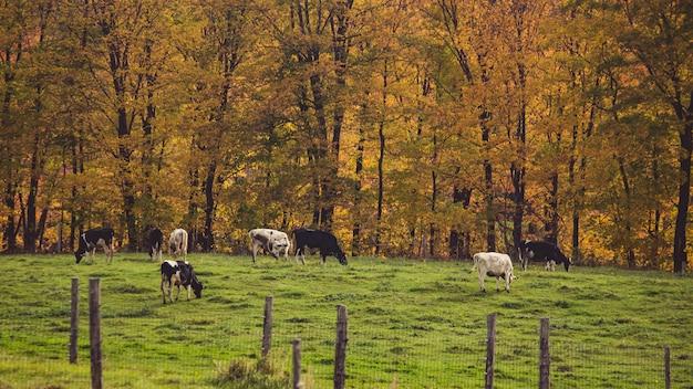 Tiro de uma fazenda com chaleira pastando na grama atrás das grades