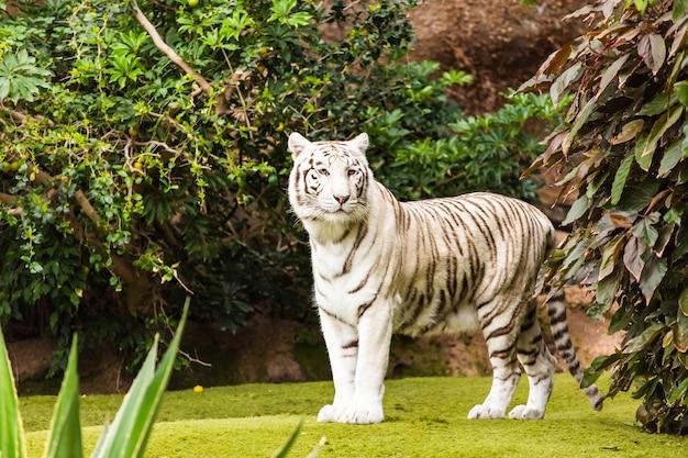 Tiro de vida selvagem de um tigre branco em cativeiro