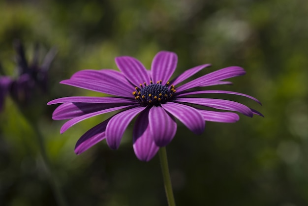 Tiro do close up de uma flor bonita da margarida africana de pétalas roxas em um borrado