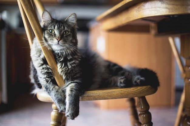 Tiro do close up do foco seletivo de um gato de gato malhado peludo cinzento que senta-se em uma cadeira de madeira