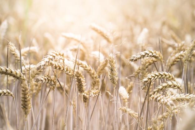Tiro do foco seletivo do close up de um campo de trigo bonito em um dia ensolarado