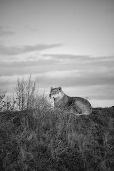 Tiro em escala de cinza vertical de uma leoa deitada no vale sob o céu nublado escuro