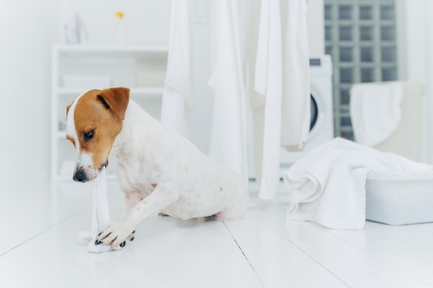 Tiro horizontal de jack rusell terrier morde roupa de cama branca enquanto o anfitrião está ausente