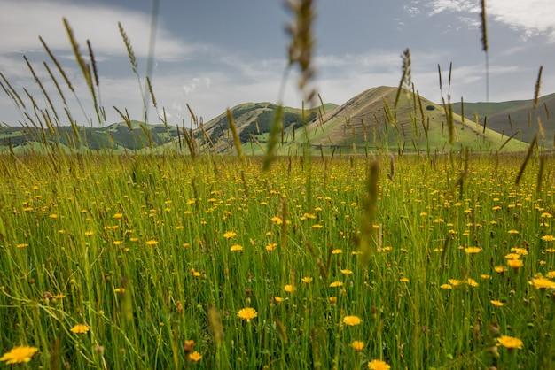 Tiro horizontal de lindas flores amarelas em um campo de grama, rodeado por altas montanhas na itália