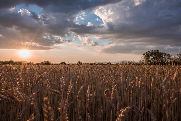 Tiro horizontal de um campo de espiga de trigo no momento do pôr do sol sob as nuvens de tirar o fôlego