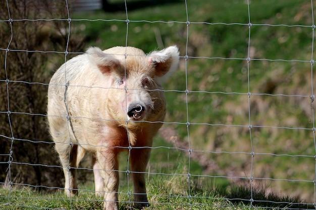 Tiro horizontal de um porco no campo atrás de uma cerca durante o dia