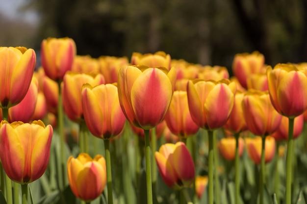 Tiro horizontal do close up de tulipas cor-de-rosa e amarelas lindos - espalhando a beleza na natureza