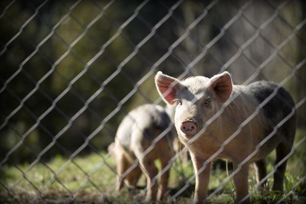 Tiro horizontal do close up dos suínos em um pasto atrás da cerca em um dia ensolarado
