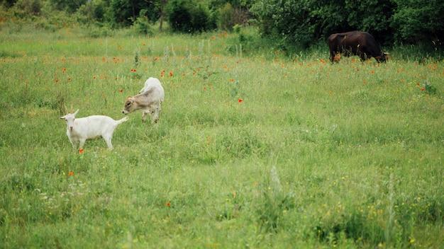 Tiro longo, fazenda, animais, ligado, pasto