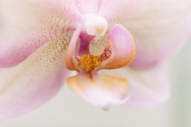 Tiro macro da orquídea de traça bonita