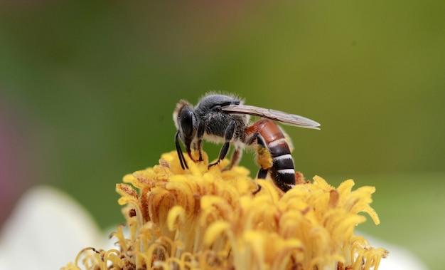 Tiro macro de abelhas polinizadas na flor amarela