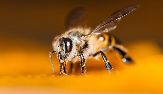 Tiro macro de abelhas