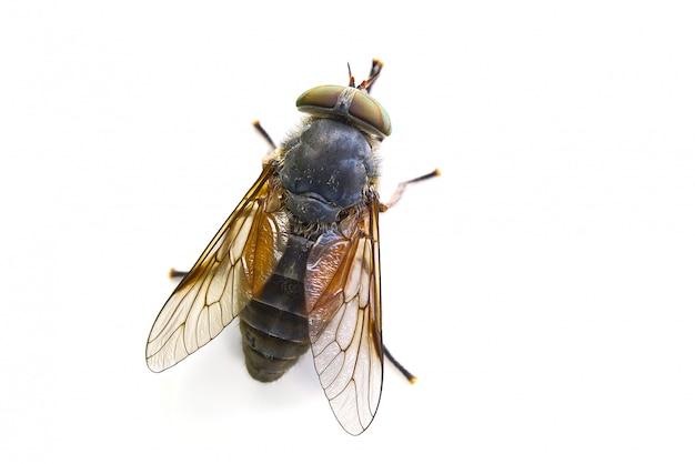 Tiro macro de grande mosca isolado