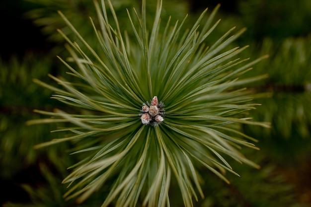 Tiro macro de plantas. os ramos das coníferas com botões jovens parecem flores. ramo de pinheiro com cones na primavera.