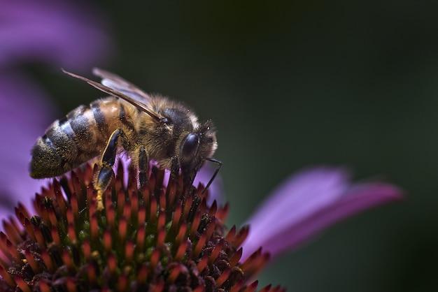 Tiro macro de uma abelha em uma flor roxa exótica com uma parede borrada