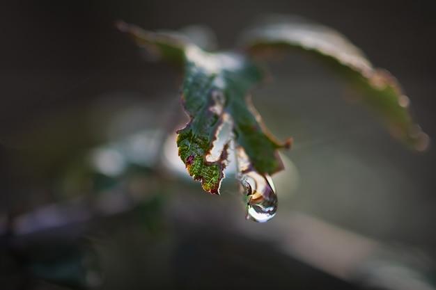 Tiro macro de uma gota d'água suspensa de uma planta selvagem. fotografia macro.